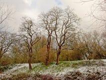 Bäume mit gelockten Niederlassungen auf einer Steigung mit Schnee im Bourgoyen-Naturreservat, Gent, Belgien Lizenzfreie Stockbilder