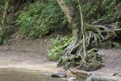 Bäume mit herausgestellten Wurzeln stockbild