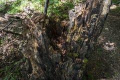 Bäume mit interessanten Formen und Bildungen auf ihren Stämmen und Stämme auf dem Weg zu Kozya-stena Hütte Der Berg in der Zentra lizenzfreie stockfotografie