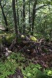 Bäume mit interessanten Formen und Bildungen auf ihren Stämmen und Stämme auf dem Weg zu Kozya-stena Hütte Der Berg in der Zentra stockfotos
