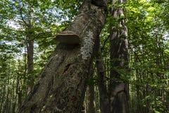 Bäume mit interessanten Formen und Bildungen auf ihren Stämmen und Stämme auf dem Weg zu Kozya-stena Hütte Der Berg in der Zentra stockfoto