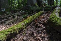 Bäume mit interessanten Formen am Wald auf dem Weg zu Kozya-stena Hütte lizenzfreies stockfoto