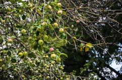 Bäume mit roten Äpfeln in einem Obstgarten lizenzfreie stockbilder