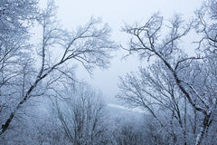 Bäume mit Schnee im Winterpark Stockfotos