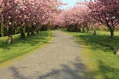 Bäume mit voller Blüte im Frühjahr Lizenzfreies Stockbild