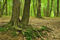 Bäume mit Wurzel im Wald Stockfoto