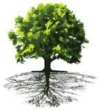 Bäume mit Wurzeln Stockfoto
