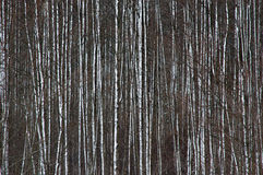 Bäume nach Blizzard Stockfotografie