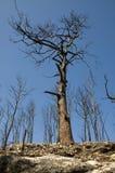 Bäume nach Feuer Stockbilder