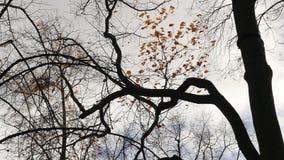 Bäume ohne Blätter auf Hintergrund des grauen Himmels am kalten Tag des windigen Herbstes stock video footage