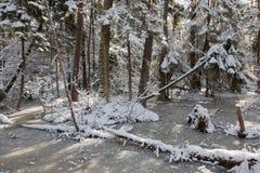 Bäume schneien eingewickelter Blizzard nachher Lizenzfreies Stockbild