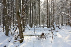 Bäume schneien eingewickelter Blizzard nachher Stockbilder