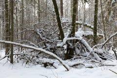 Bäume schneien eingewickelter Blizzard nachher Lizenzfreie Stockbilder