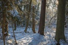 Bäume schneien eingewickelter Blizzard nachher Stockbild