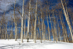 Bäume Snowy-Aspen Lizenzfreies Stockfoto