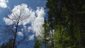 Bäume und Blätter gegen den blauen Himmel Natur fängt an zu blühen Frühling stock video