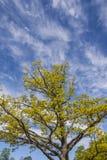 Bäume und ein blauer Himmel mit Wolken Stockfotografie