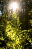 Bäume und Farn mit Sonnenschein in einem Bereich des schwarzen Waldes Stockbild