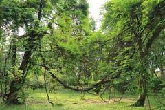Bäume und Rebe Lizenzfreie Stockfotos