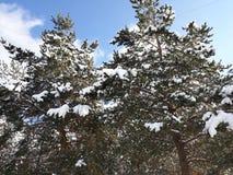 Bäume und Schnee am Weihnachten lizenzfreie stockfotos