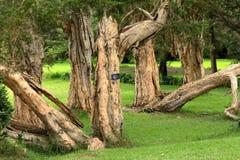 Bäume und Wald bei Nuwara Eliya in Sri Lanka Stockfoto