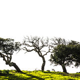 Bäume verbogen durch Windmistral mit einem weißen Hintergrund Stockfoto