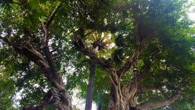 Bäume verwickelt in der Symbiose stockfoto