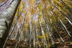 Bäume von unterhalb gesehen im Park von Foreste Casentinesi in Toskana, Italien Lizenzfreies Stockfoto
