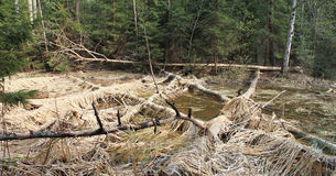Bäver hade gnagt träd Fotografering för Bildbyråer