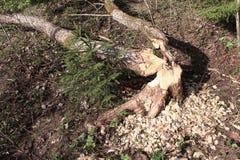 Bäver hade gnagt träd Royaltyfri Fotografi