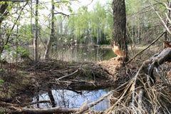 Bäver hade gnagt träd Royaltyfria Foton