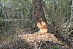 Bäver hade gnagt träd Arkivfoto