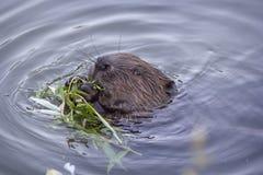 Bäver i dammet som äter en fatta Fotografering för Bildbyråer