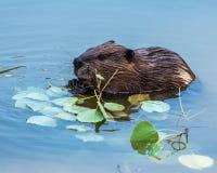Bäver i floden Fotografering för Bildbyråer
