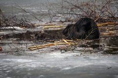 Bäver på is, Ladner, British Columbia Arkivfoton