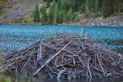 Bäver som förlägga i barack på Colorado berg sjön Royaltyfri Foto