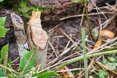 Bäver som gnagas på träd Fotografering för Bildbyråer