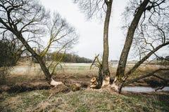 Bäver startade att klippa träden nära floden Arkivbild