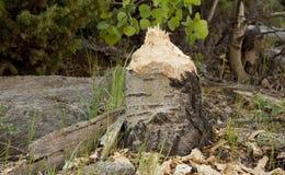 Bäver tuggad treestubbe Arkivfoton
