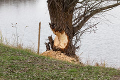 Bäver vs träd Royaltyfri Bild