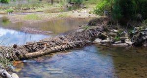 Bäverfördämning i en våtmark royaltyfria bilder