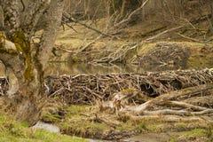 Bäverfördämning i träsket Arkivbild