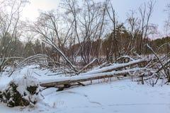 Bäverfördämning i vinterskog arkivfoto