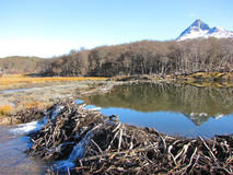 Bäverfördämning - Ushuaia Arkivfoton