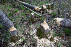 Bäverskada i skog Royaltyfri Fotografi