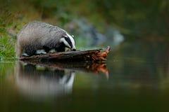 Bäverskinn i skogen, livsmiljö för djur natur, Tyskland, Europa Djurlivplats Lös bäverskinn, Melesmeles, djur i trä Europeiskt em arkivfoton