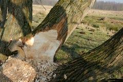 Bäverträd Fotografering för Bildbyråer
