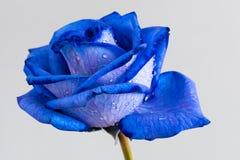 Błękit róży zbliżenie zdjęcia royalty free