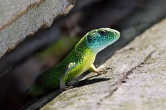 Błękita, zieleni i koloru żółtego jaszczurka, fotografia stock