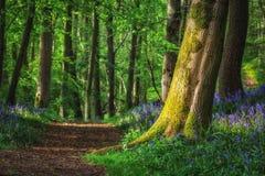 Błękitny dzwonkowy drewno w wczesnego poranku świetle słonecznym fotografia stock
